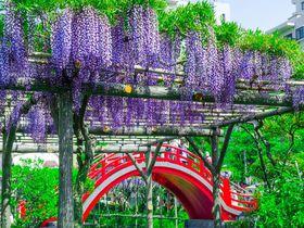 東京一の藤の名所!「亀戸天神社」の藤まつりはGWに超おすすめ!