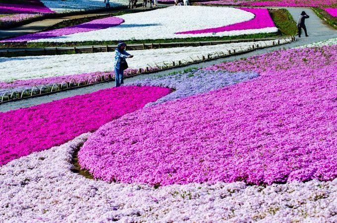 9種類の芝桜が織りなす豊かな色彩