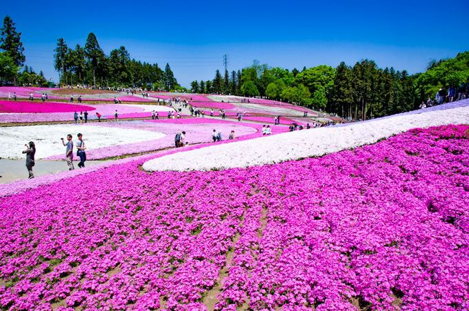 なんと40万株以上!秩父・羊山公園の芝桜!