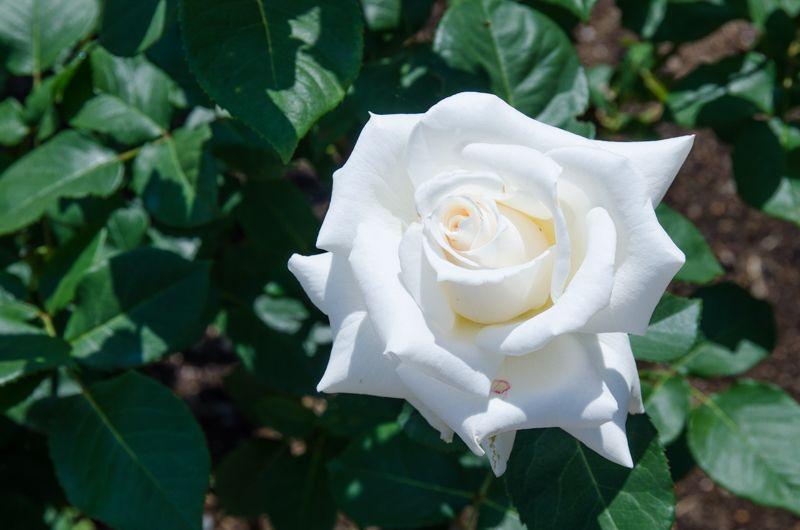 神代植物公園の名物「殿堂入りのバラ」