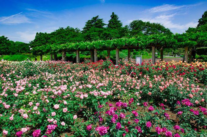約400品種5200株!神代植物公園のバラは都内最大規模!