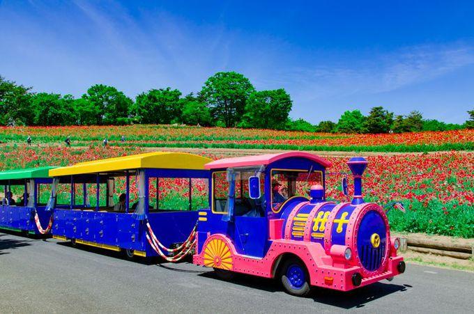 昭和記念公園名物「パークトレイン」と「シャーレーポピー」