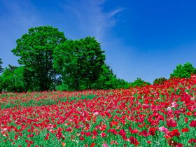 昭和記念公園の「シャーレーポピー」が凄い!東京都内の花の名所で楽しむ赤い大地!|東京都|トラベルjp<たびねす>