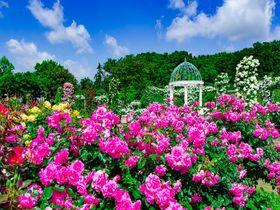 「京成バラ園」が凄い!千葉県屈指のバラの名所を楽しみ尽くす|千葉県|トラベルjp<たびねす>