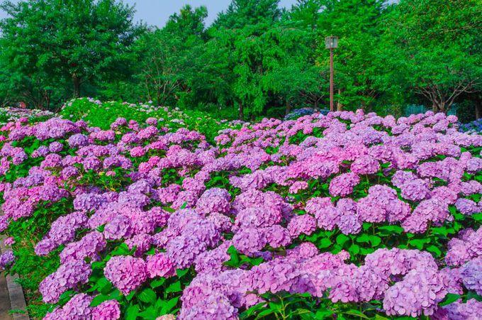 神奈川有数のあじさいの名所「相模原北公園」