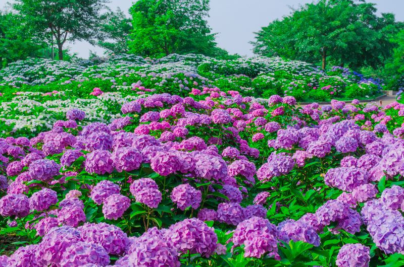 「相模原北公園」はあじさいの名所!神奈川県が誇る梅雨の絶景を堪能しよう