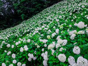 東京サマーランドはあじさいの名所!「アナベルの雪山」が美しすぎる|東京都|トラベルjp<たびねす>