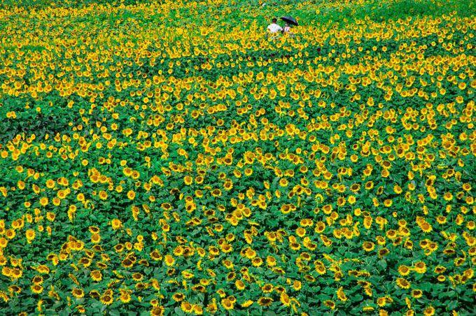 日照時間日本一!60万本が圧巻の「明野ひまわり畑」