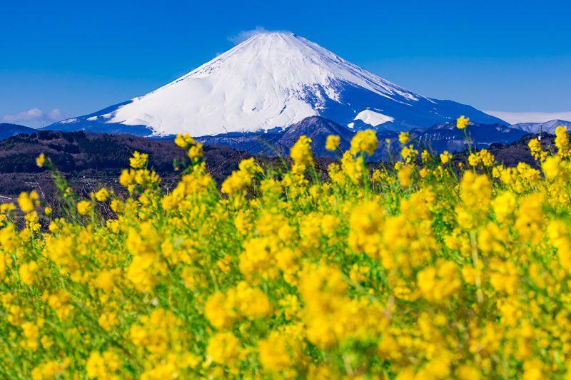 吾妻山公園の目玉!「富士山」と「菜の花」