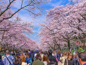 「上野公園」の桜はやっぱり凄い!東京都内随一の花見の名所|東京都|トラベルjp<たびねす>