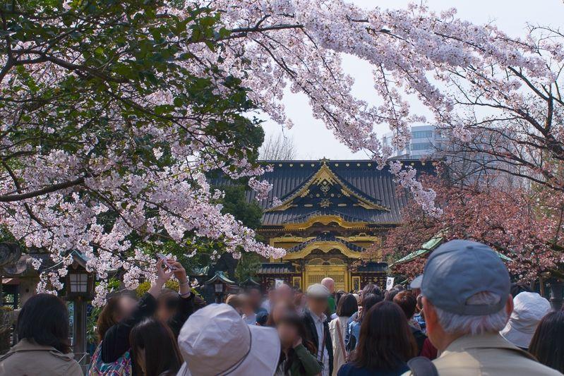 「上野東照宮」と桜の共演!