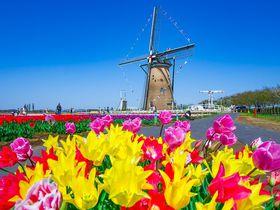 千葉「佐倉チューリップフェスタ」は関東最大級!オランダ風車とのコラボも魅力の大絶景