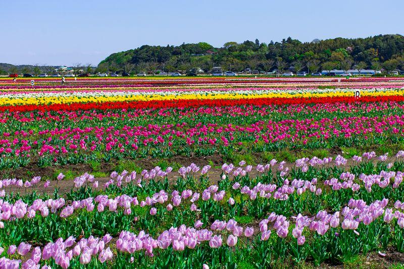 「佐倉ふるさと広場」のチューリップ畑は関東最大級60万本!
