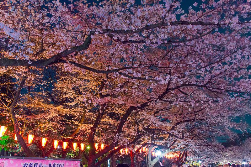 夜桜が頭上を覆い尽くす「さくら通り」