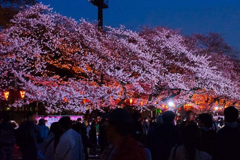 日本三大夜桜の名所!「上野公園」