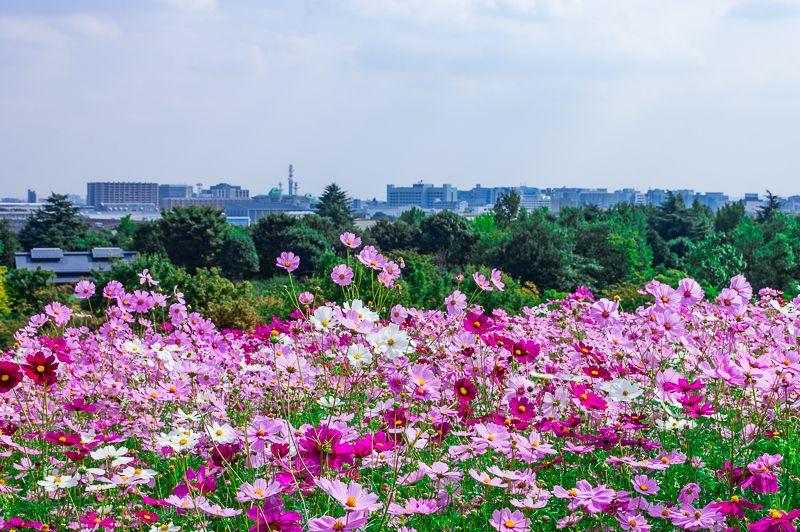 昭和記念公園「花の丘」は都内最大級400万本のコスモス畑!