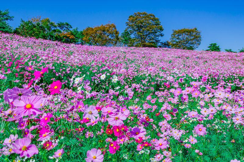 「昭和記念公園」のコスモス畑(花の丘)は東京都内最大級400万本の大絶景!