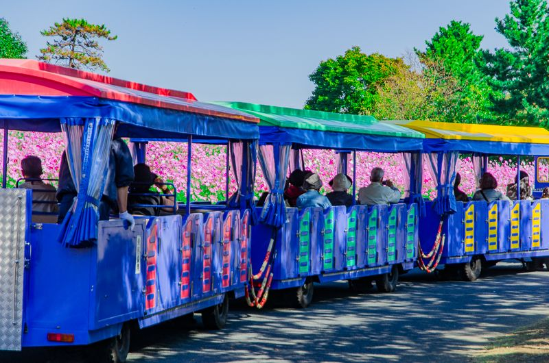 昭和記念公園名物「パークトレイン」とコスモス