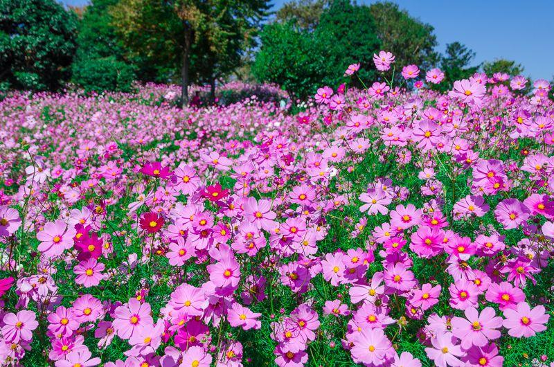 東京を代表するコスモスの名所!「昭和記念公園」