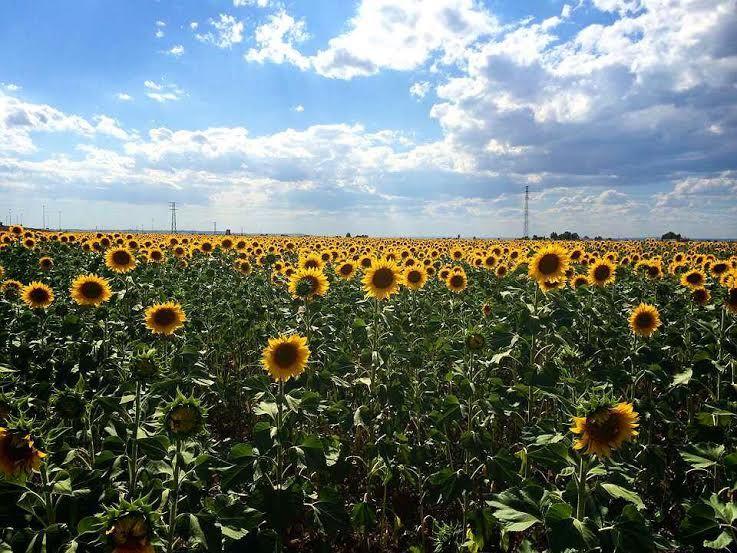 アンダルシア各地に点在するひまわり畑