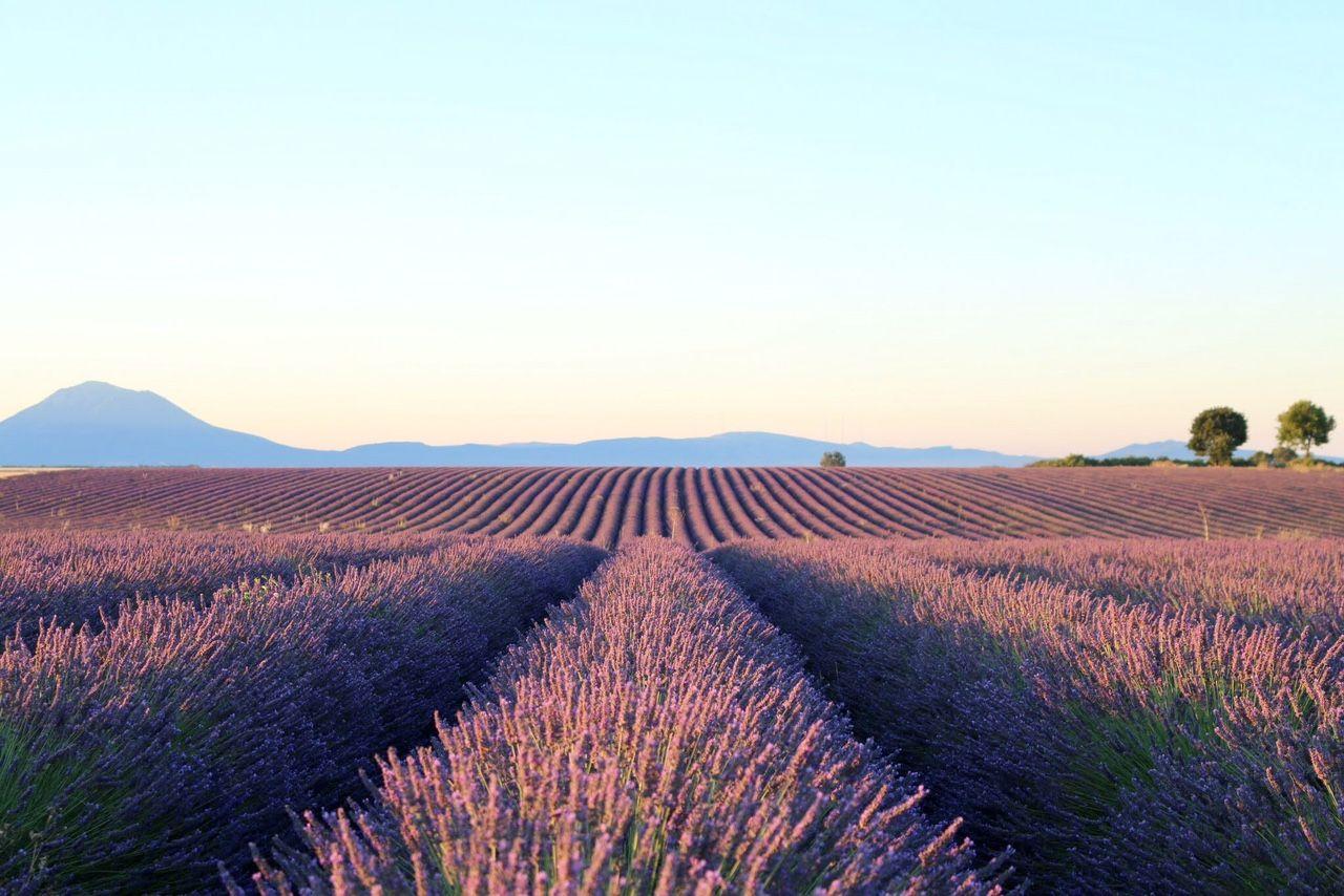 南仏プロヴァンスの定番・ラベンダー畑