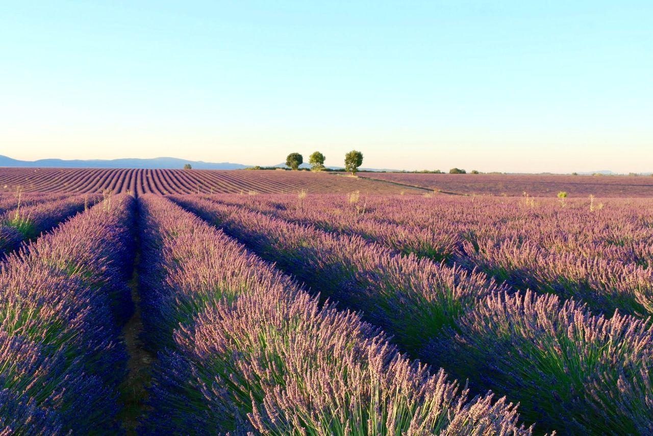 香りあふれるラベンダー祭!輝く夏の南仏・ヴァロンソル高原