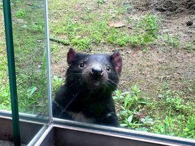 可愛すぎる絶滅危惧種「タスマニアデビル」公開!多摩動物公園|東京都|トラベルjp<たびねす>