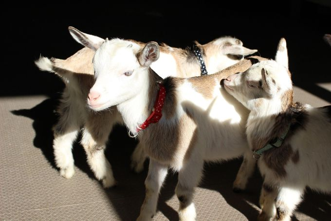 三つ子のヤギが可愛すぎる!