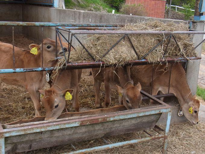 生まれたばかりの子牛がたくさん!