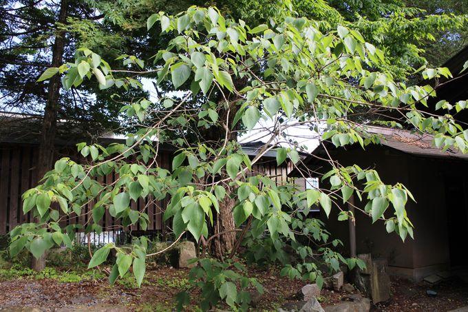 家紋になっている「梶の葉」を境内に見る