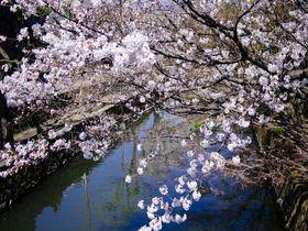 満開の桜に彩られた白壁の町・倉敷!美観地区で楽しむお花見