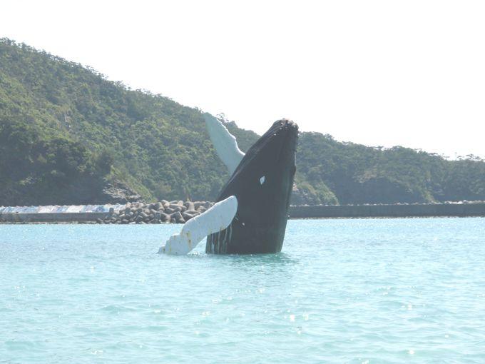 座間味島とザトウクジラ