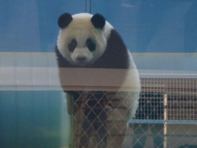 愛らしい子パンダにご対面!