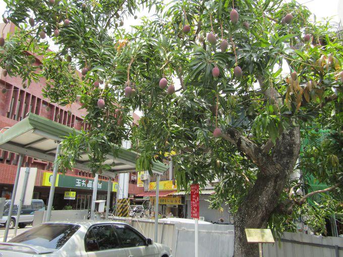 駐車場もやる気満々!マンゴーの木には出番を待つマンゴーが