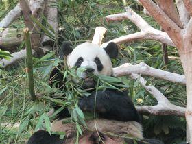 わずか150円でパンダに会える!マカオ「石排湾郊野公園」