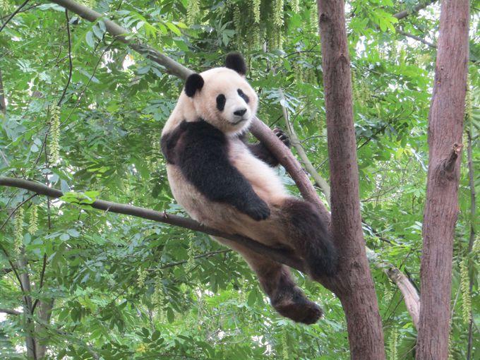 未成年パンダも木になる!?