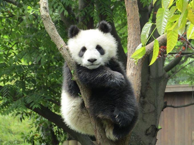 子パンダのなる木、ココに発見!