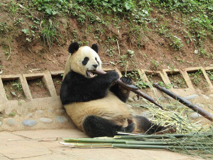 大きくてもかわいい!寝てる姿も食べてる姿も子パンダに負けない!