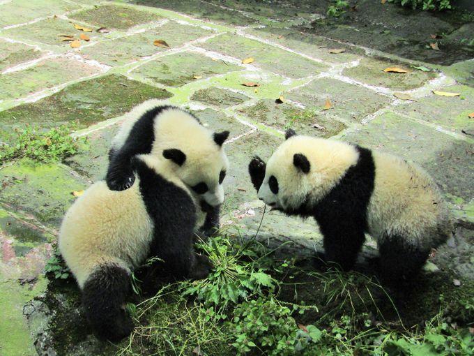 やっぱり大人気の「パンダ幼稚園」!