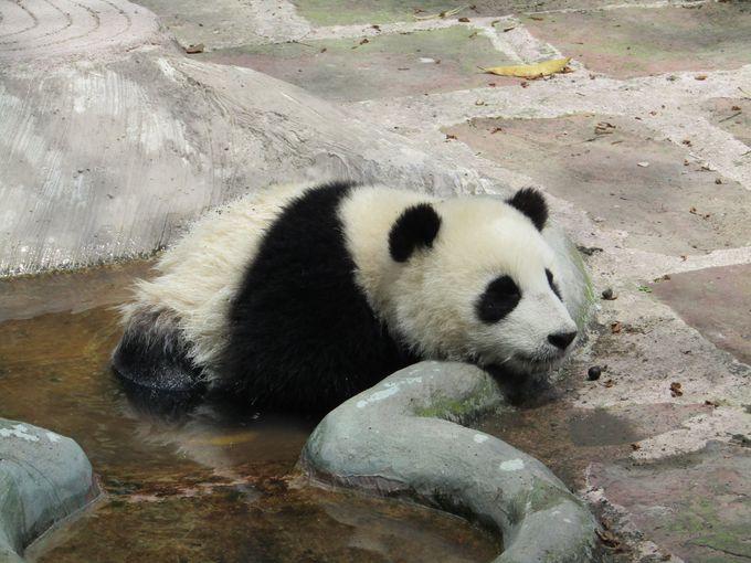 中国の水飲み場でくつろぐパンダ