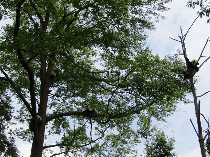 中国の木の上で休むパンダ