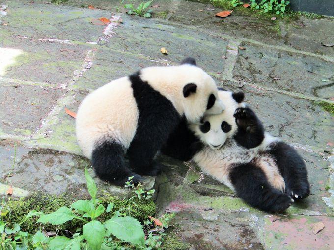 中国のパンダ幼稚園