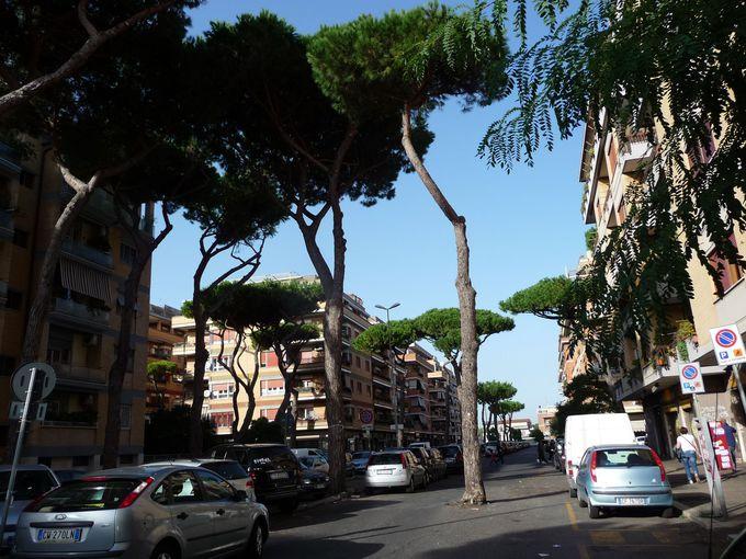 道路の真ん中に松の木が!