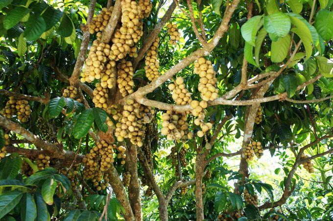トラムにのって果樹園巡り。たわわに実った果物を観賞