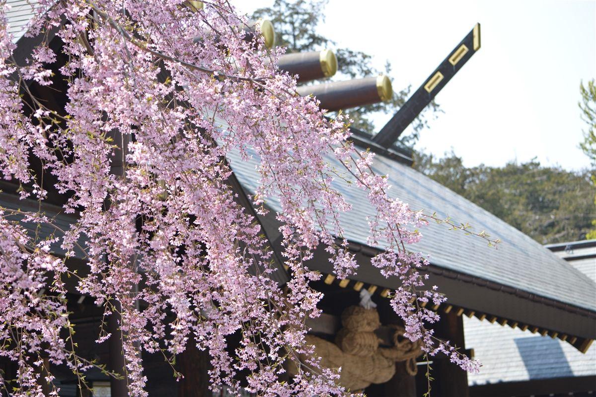 1400本の桜と250本の梅の木が咲き誇る「北海道神宮」