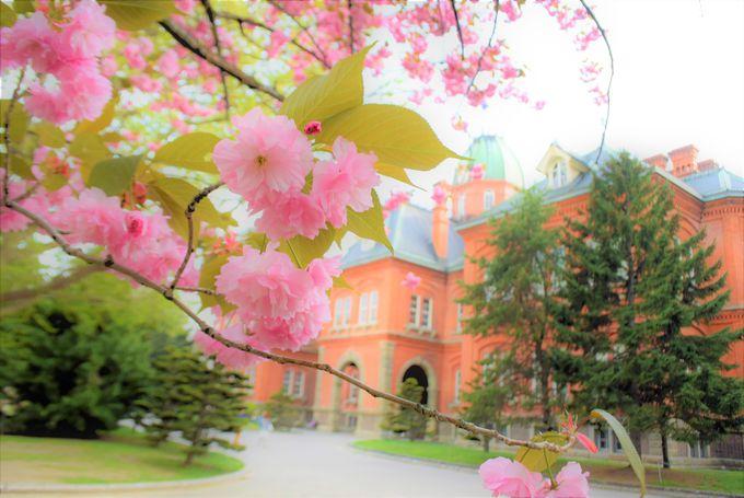 道庁前の桜の見頃は?薄ピンクから徐々に濃いピンクへと移り行く桜暦