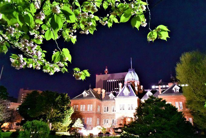 ライトアップしている赤れんが庁舎を桜越しに味わう