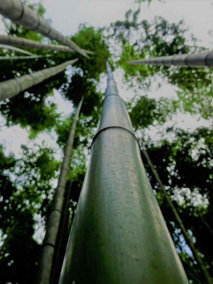 嵯峨野の竹林はSNS映え抜群!人力車で旬の美しいスポットへ