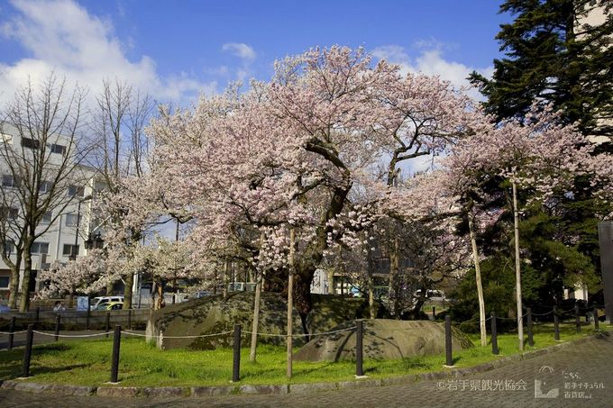 開花に合わせて観光したい!巨石を割って咲く「石割桜」