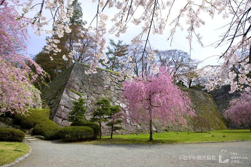 盛岡駅近辺のお花見名所巡り!巨石を割って咲く「石割桜」は天然記念物